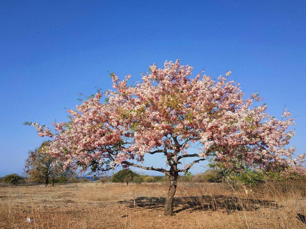 Bunga Sakura Sumba