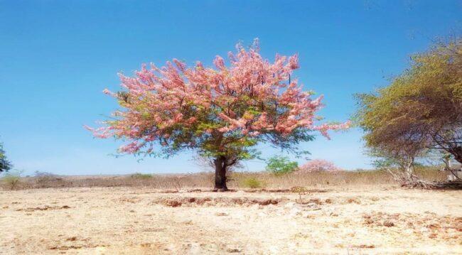 Bunga Sakura di Sumba Timur