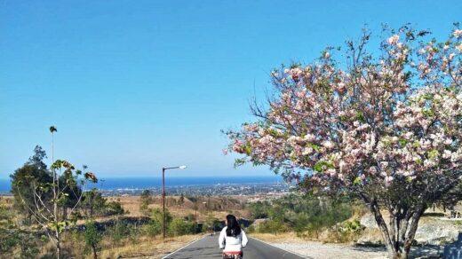 Bunga Sakura Sumba, teampt wisata baru di sumba timur
