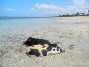 Dua ekor babi bersantai di Pantai Benda, Sumba. Foto: Google Maps / Matthias Jungk