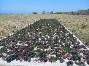 Proses pengeringan rumput laut yang masih tradisional, dengan sinar matahari. Foto: Google Maps / Matthias Jungk