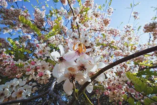 Lokasi Bunga Sakura di Sumba